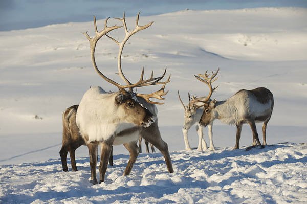 Rreindeers​_Winter_Ba​ckground_1