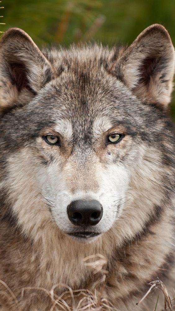 La passion des loups !!!! belles images de loups blancs
