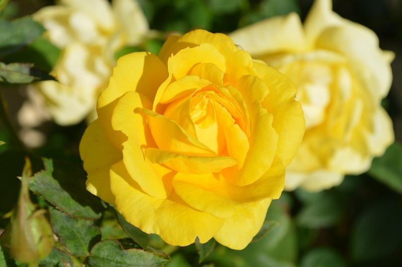 yellow-rose-196393_960_720